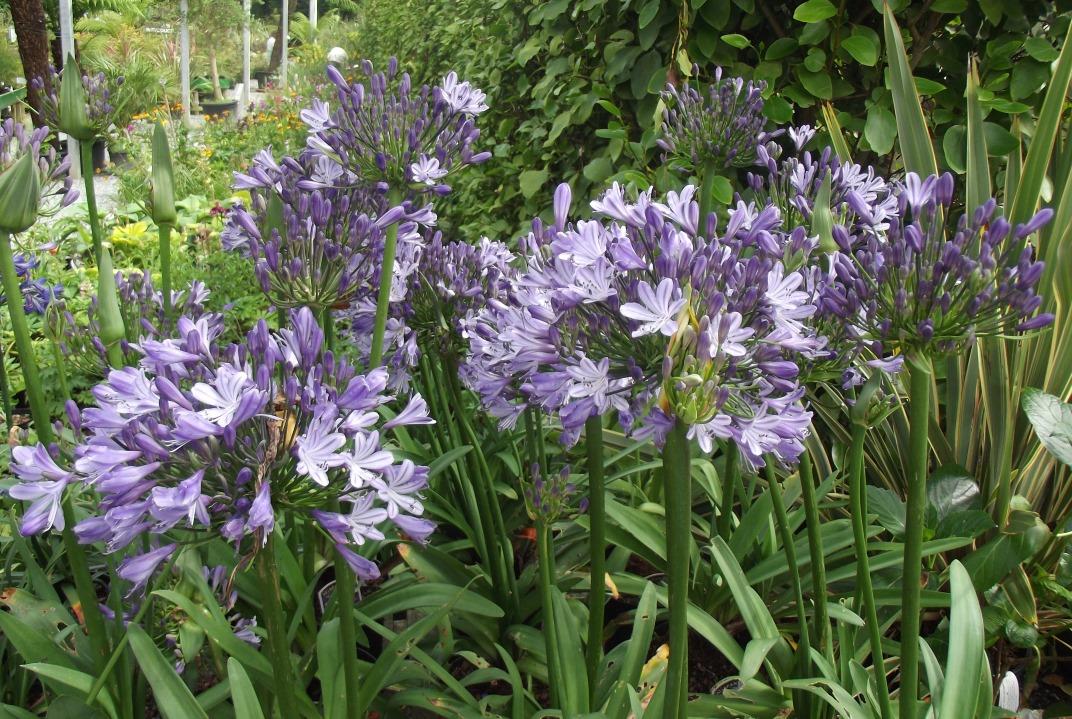 Perennials - Agapanthus Megan's Mauve