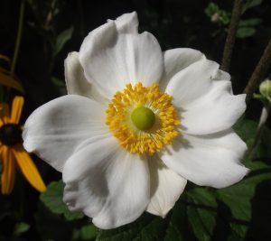Perennials - White Anemone