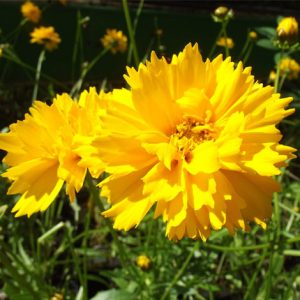Perennials - Coreopsis Early Sunrise to be delivered with garden furniture at Trevena Cross