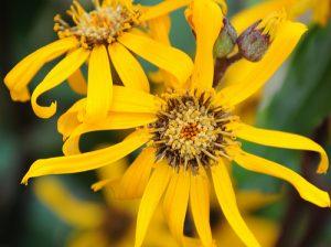 Perennials - Ligularia Midnight Lady