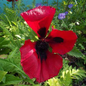 Perennials - Papaver Orientale Beauty
