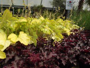 Perennials - Heucheras green and purple