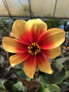 red-orange dahlia flowerhead