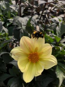 yellow dahlia flowerhead with bee