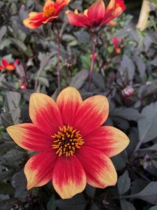 Red and yellow dahlia flower