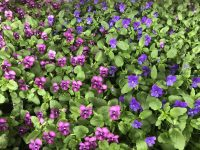 violas ice babies - nature's time to plant