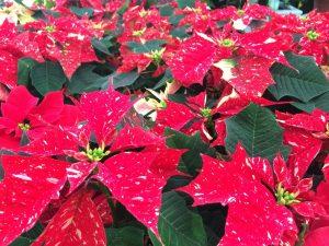Poinsettia in Trevena Cross Christmas Shop