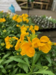 Wallflowers, yellow - Buy One Get One Free