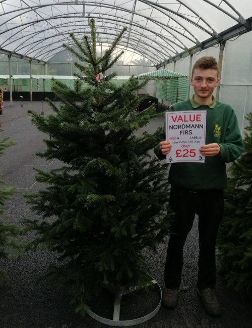 Value Nordmann Fir £25 - Trevena Cross Christmas Trees