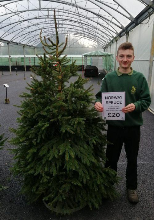 Norway Spruce £20 - Trevena Cross Christmas Tree