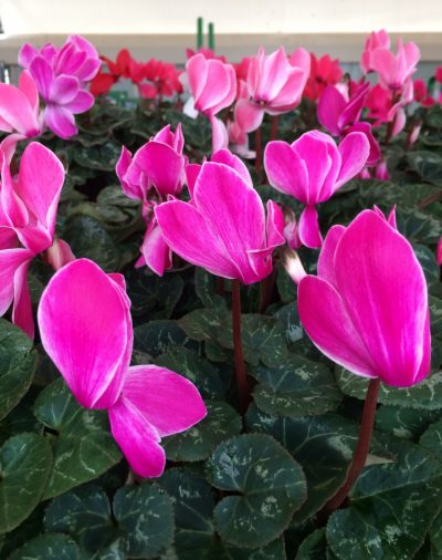 pink cyclamen - buy one get one free