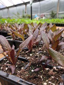 lettuce at Trevena Cross