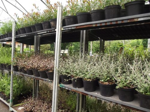 4 for £20 2ltr shrubs - Trevena Cross
