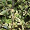 Corokia x virgata Sunsplash foliage