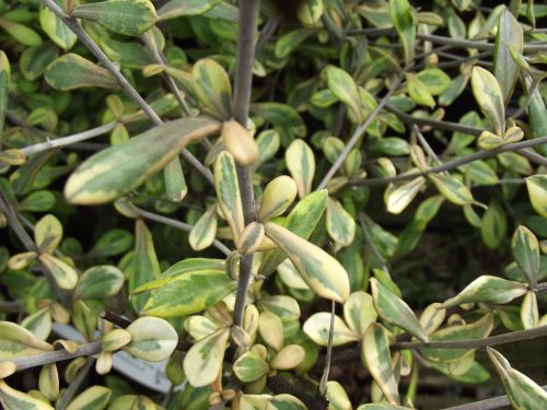 Corokia x virgata Sunsplash foliage