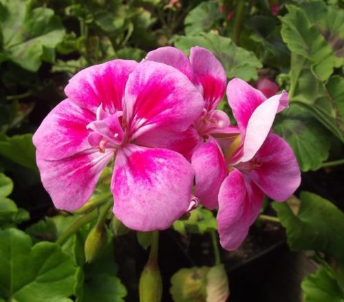 Pink geranium at Trevena Cross