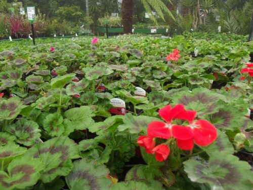Sea of geraniums at Trevena Cross