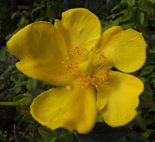 Hypericum Hidcote yellow flower