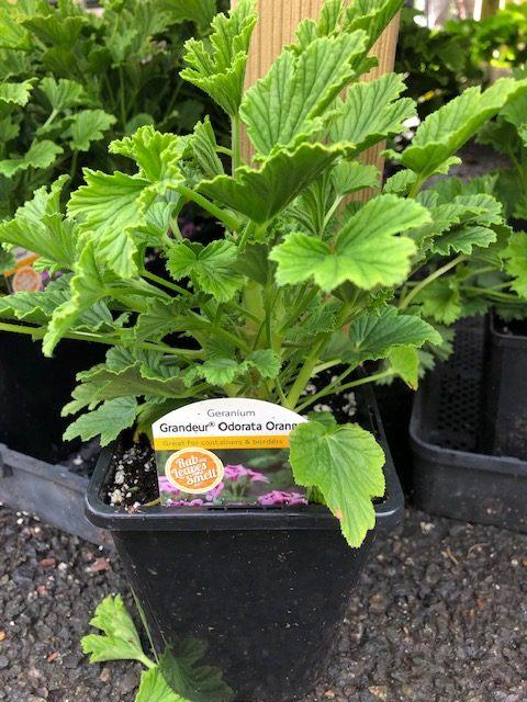 Orange Scented 1ltr Geranium