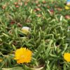 Cornish Wall plants, yellow flower - Trevena Cross