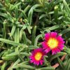 Purple Delosperma Suntropics Flower - Trevena Cross