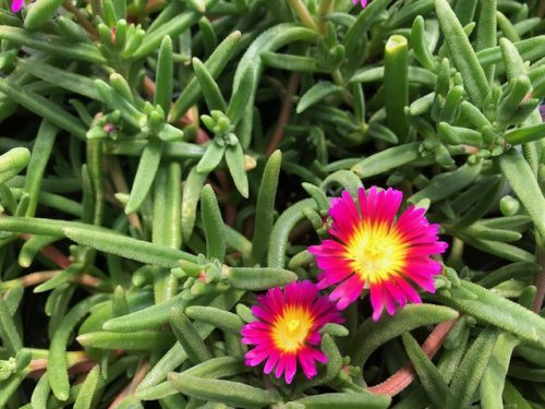 Purple Delosperma Suntropics Flower - Trevena Cross