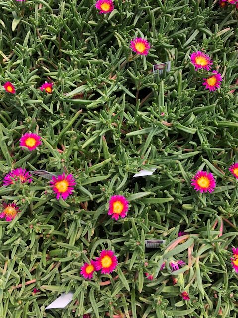 Purple Delosperma Suntropics - Trevena Cross