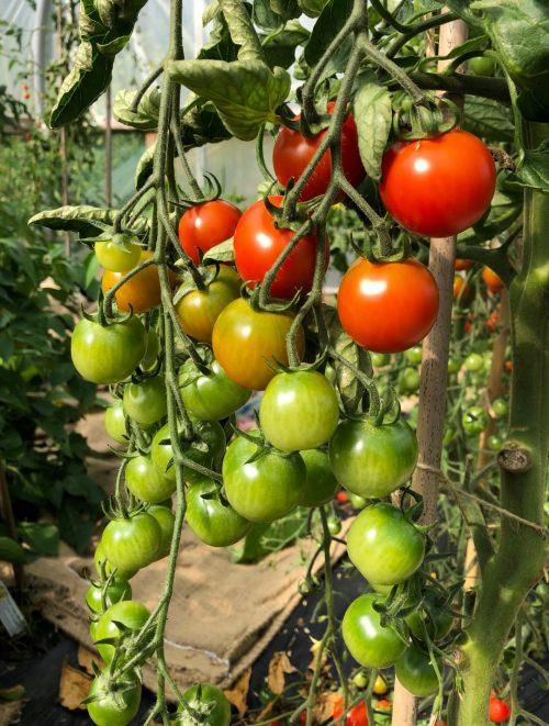 cherry tomatoes - Trevena Cross Nursery