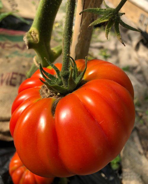 Beefstake tomato - Trevena Cross Nursery