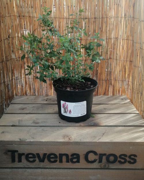 Prostanthera rotundifolia Rosea