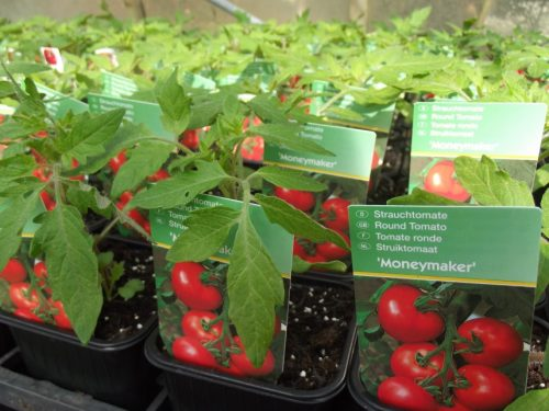 Tomato Moneymaker Plant