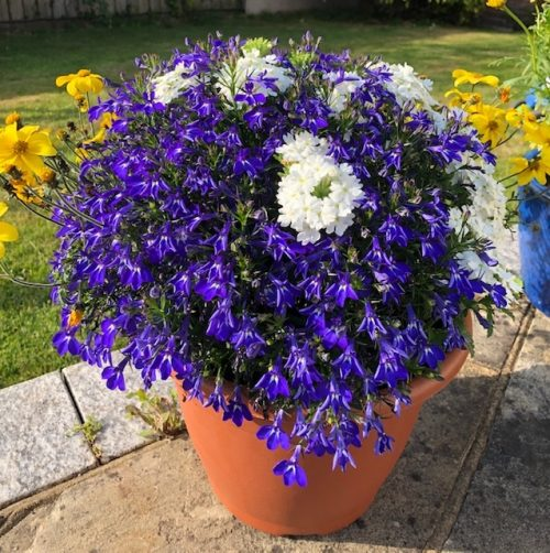 Blue, Yellow, White Trio Pot in June-July 2019