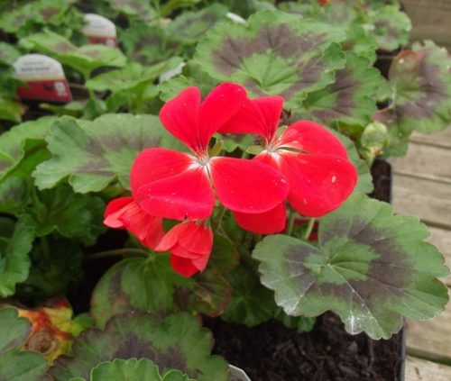 Red 1ltr geranium at Trevena Cross