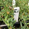 perennial mesembryanthemum - Trevena Cross