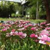 Osteospermum - Cornish Wall plants, opening the garden centre, Trevena Cross