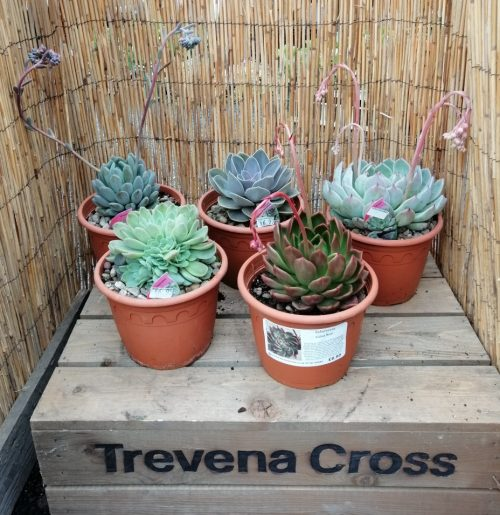 succulent selection - Echeverias