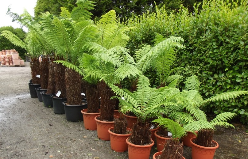 Dicksonia tree ferns from nursery
