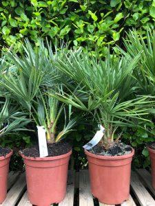 Palms - Chamaerops humilis