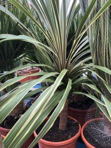Palms - Cordyline Torbay Dazzler
