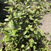 Corokia Geenty's Ghost foliage