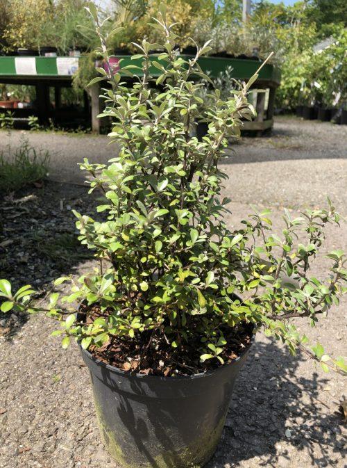 Corokia Geenty's Ghost hedging plant