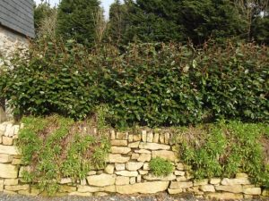 Elaeagnus Compacta hedge