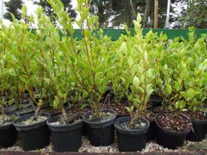 2ltr Griselinia plants