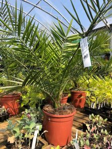 Palms - Phoenix canariensis