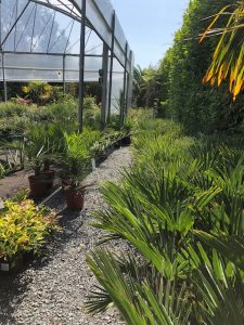 Smaller palms at Trevena Cross