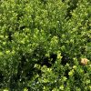 Ilex crenata Green Hedge sea of foliage