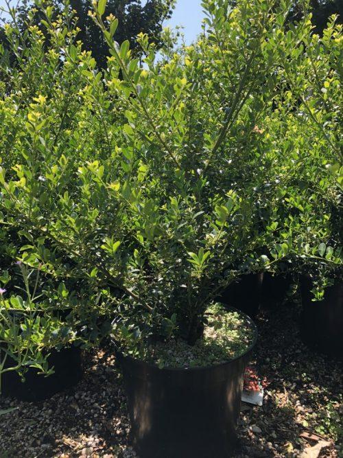 Ilex crenata Green Hedge hedging plant