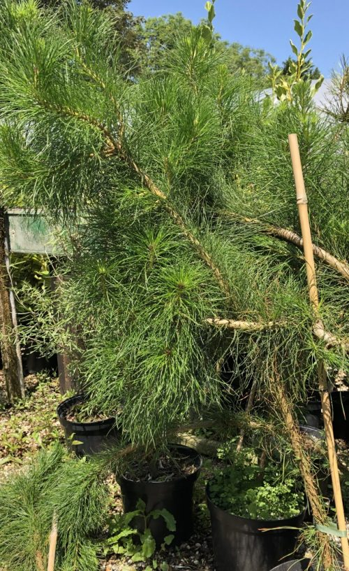 Pinus radiata hedging plants