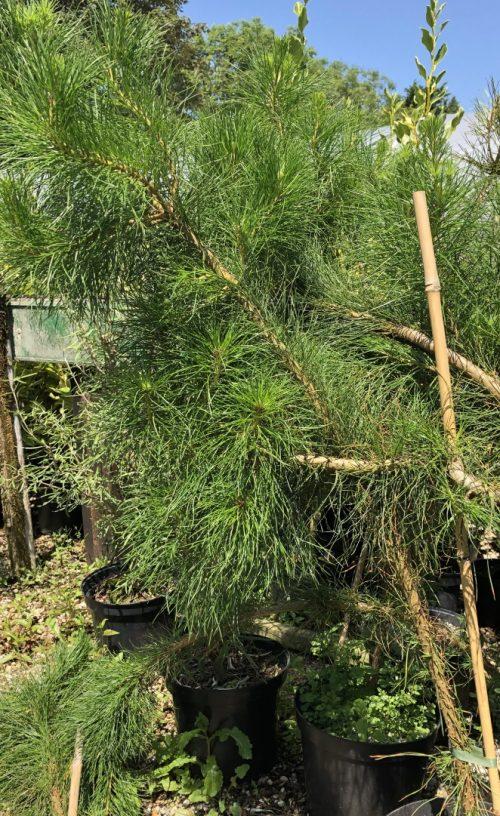 Pinus radiata hedging plants