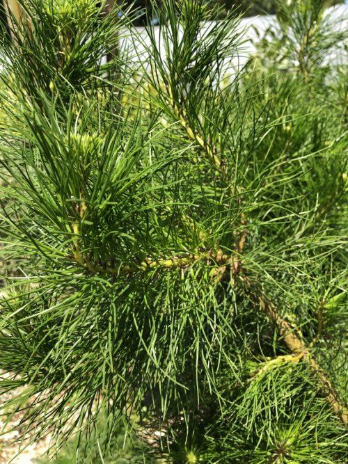 Pinus radiata foliage